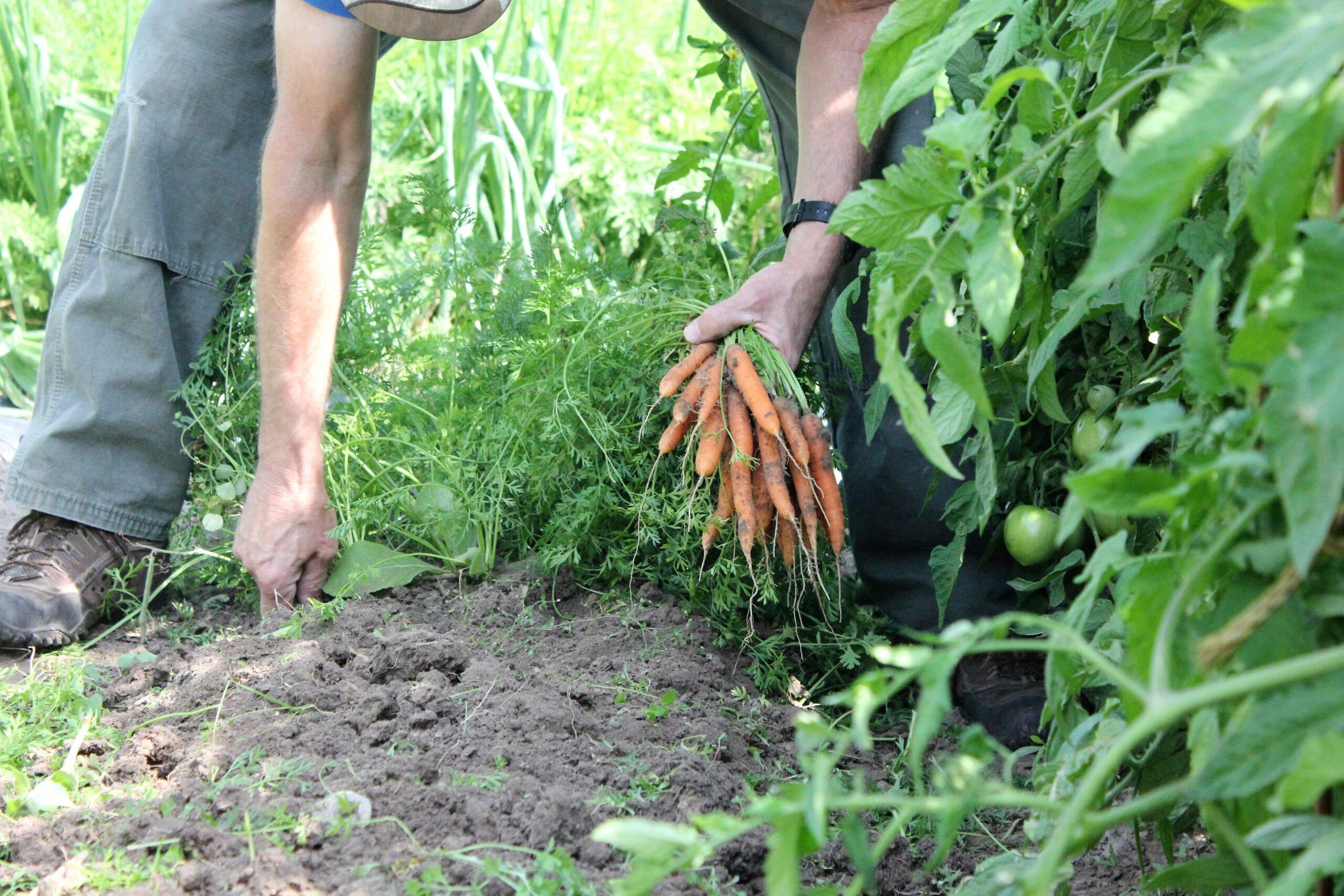 Harvesting carrots - Rebel Retirement